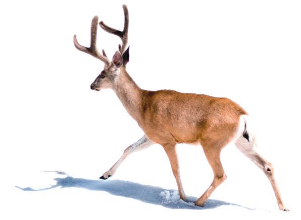 deer with antlers trotting